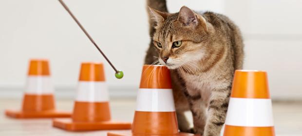 Katzen-Clickertraining: Slalom