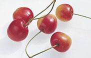 Süßkirsche Büttners rote Knorpel