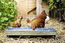Hühner am Futtertrog