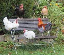 Hühner auf Bank