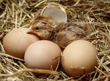 Welsumer Huhn schluepft, Kueken, Eier