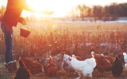 Hühnerfütterung