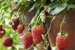 Erdbeere im Topf