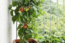 Tomate im Topf