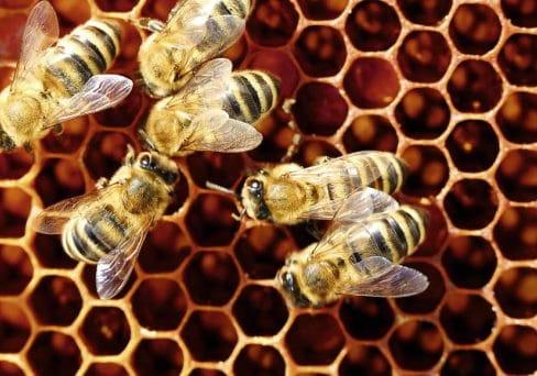 Viele Bienen tummeln sich in einer Wabe