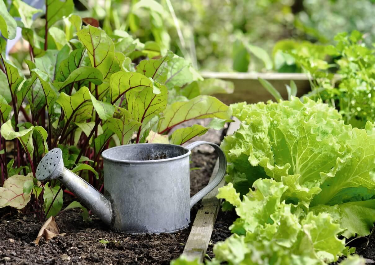 Gießkanne in Gemüsebeet