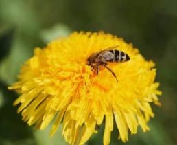U2_5_Biene auf Loewenzahn_4738