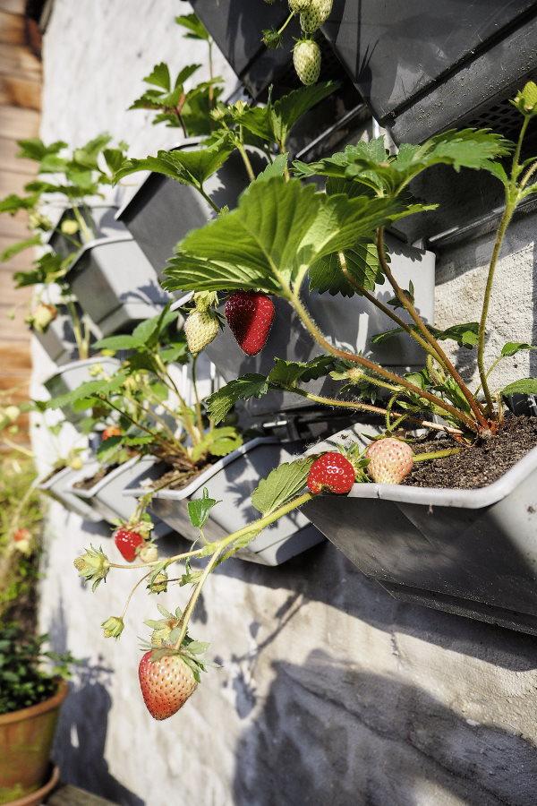 Erdbeeren an Wand