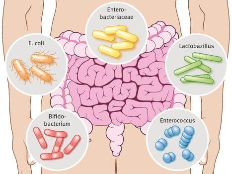 Darm Bakterienarten